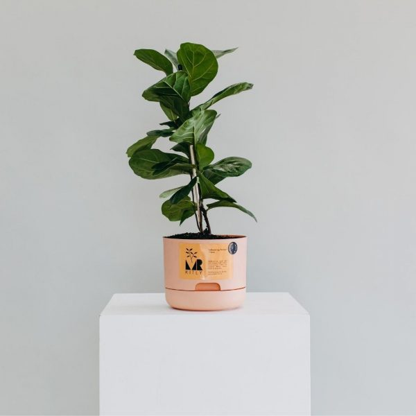 Leafy potted plant available for delivery in Perth